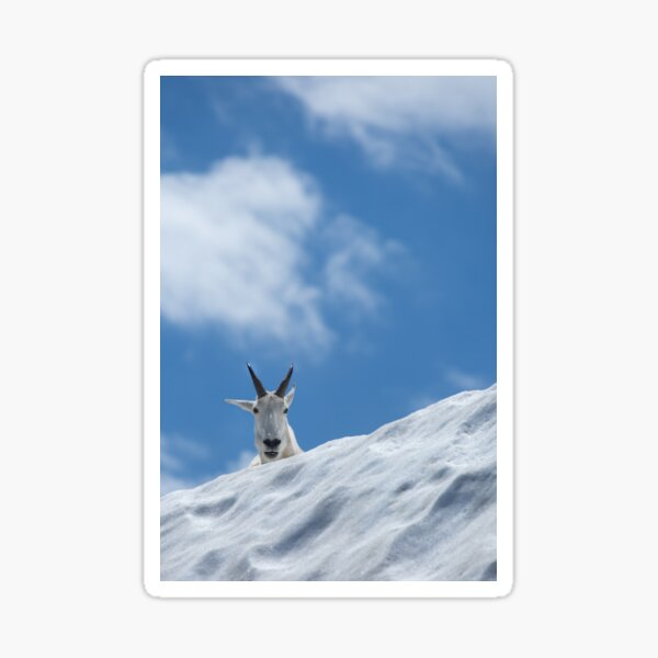 A Mountain Goat in Snow Looks On Sticker