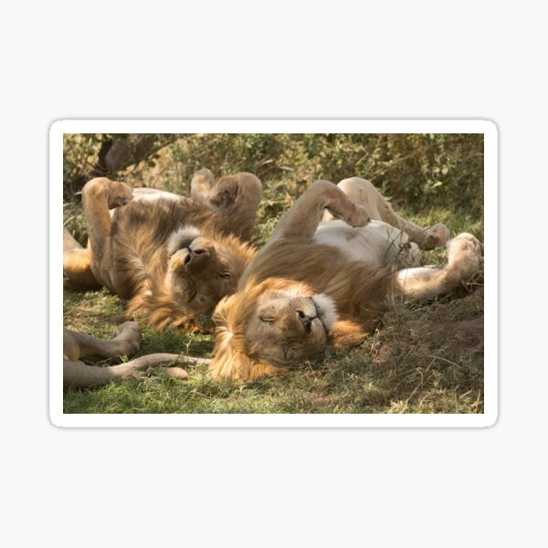 Sleepy Lions in the Ngorongoro Crater Sticker