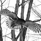The Spread of a Great Gray Owl by DigitallyStill