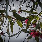 Red Gum Flowers Leith Park 20171205 1843  by Fred Mitchell