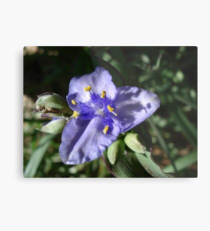 Tradescantia hirsuticaulis- Hairy Flower Spiderwort Bush Metal Print