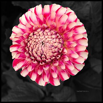Pink and white dahlia designs by GraceArt