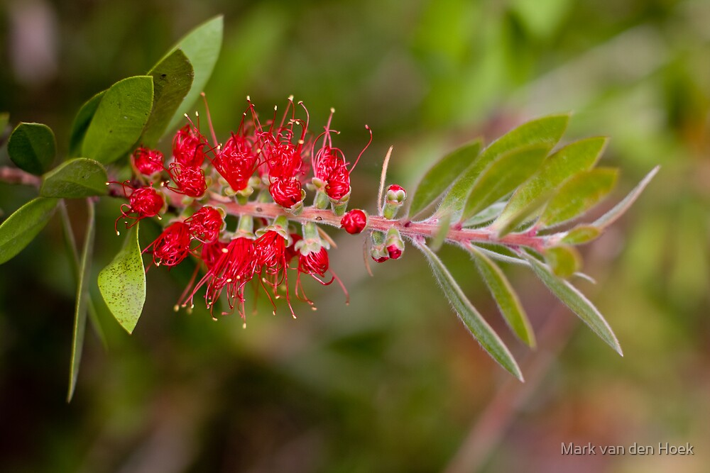 Wattle Brush by Mark van den Hoek