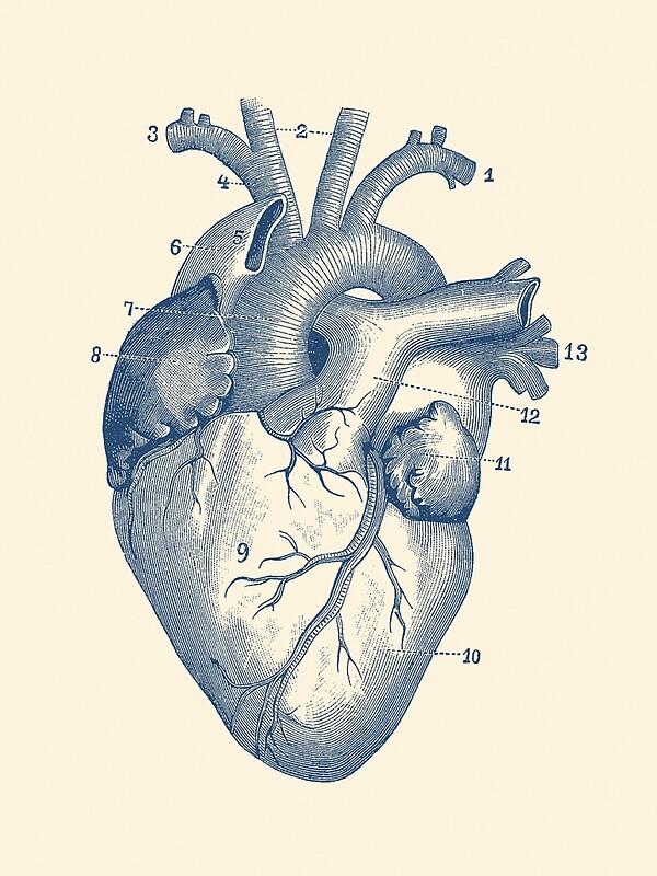 Único El Diagrama Corazón Marcado Fotos - Anatomía de Las ...