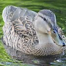 Just  a Duck by Trish Threlfall