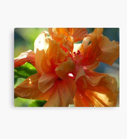 Hibiscus Apricot Canvas Print