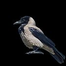 Hooded Crow by taiche