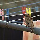 Vrabac by dominikanac