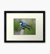 Male Tree Swallow II Framed Print