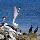 Yeah, Yeah!  We Heard You First Time!! (Australian Pelican) by lezvee
