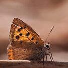 "Orange butterfly ""Lycaena phlaeas"" by César Torres"