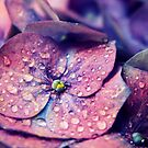 Closeup of Vibrant Purple Hydrangea Flower with Water Drops  by katevernaphoto