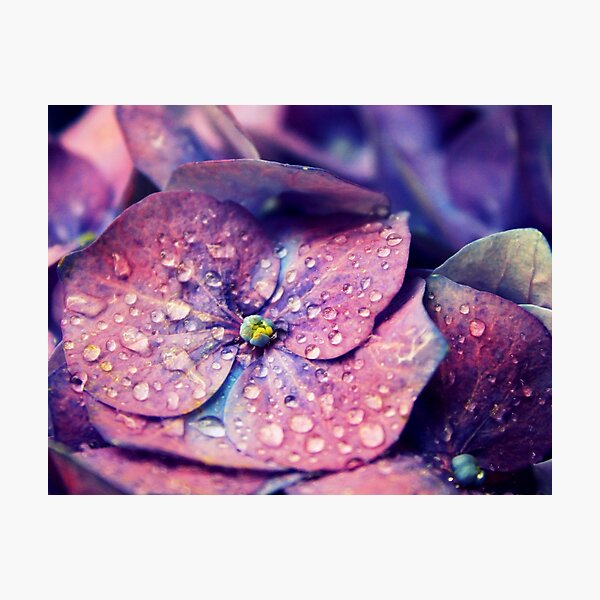Closeup of Vibrant Purple Hydrangea Flower with Water Drops  Photographic Print