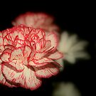 Red and White Carnation by RockyWalley