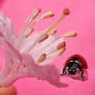Pink lady by Yool