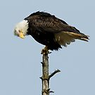 Bald Eagle:  Perspective on an Older Bird by David Friederich
