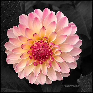 Pink Flower Art for Fashion and Home decor by GraceArt