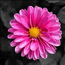 Bright pink flower with black background by Sarah Curtiss