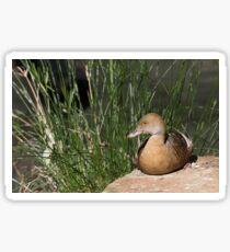 Plumed Whistling-duck Sticker