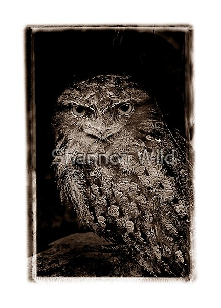Tawny Frogmouth by Shannon Wild