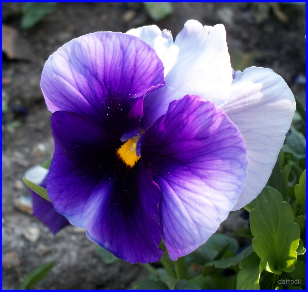 Quot White And Purple Pansy Quot By Daffodil Redbubble