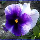 White and purple pansy by daffodil