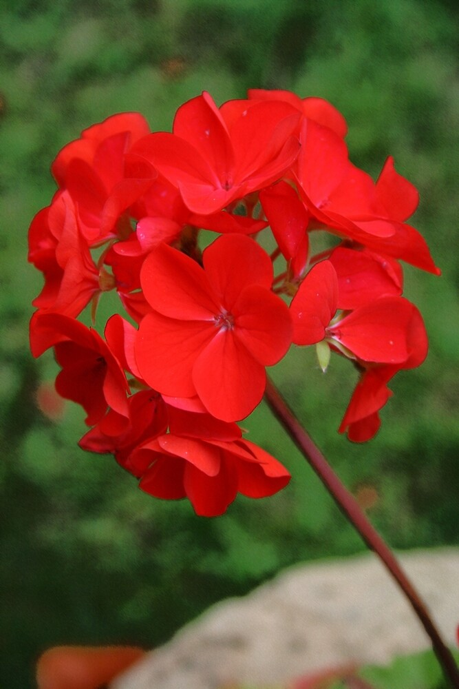Red Geranium by RedHillDigital
