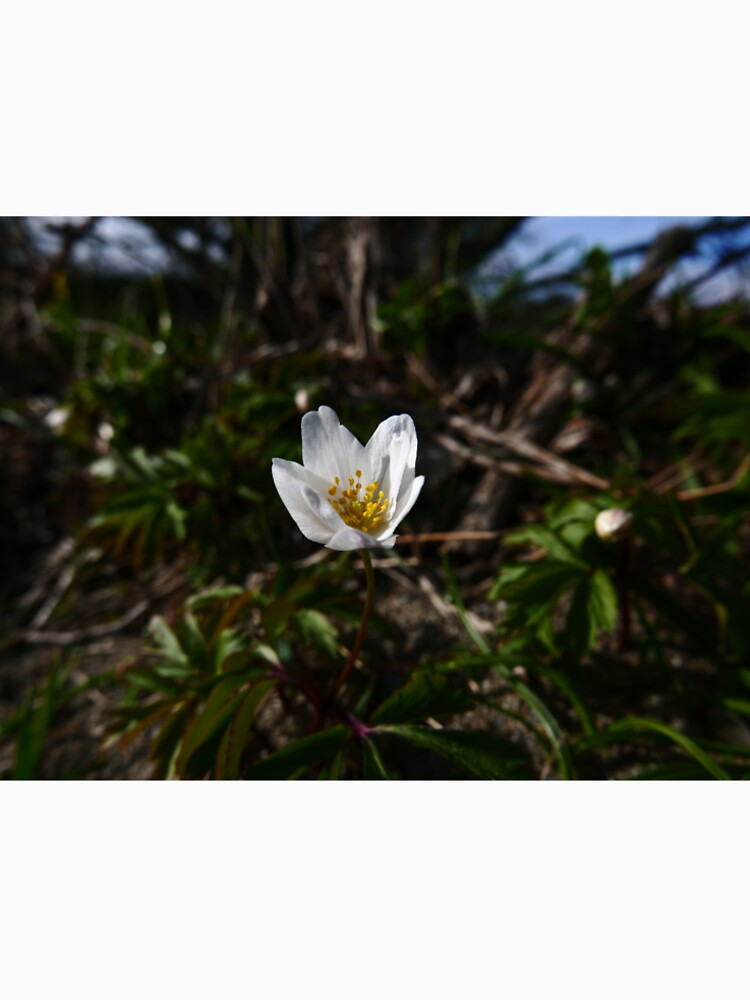 Wood Anemone (Anemone nemorosa) by IOMWildFlowers