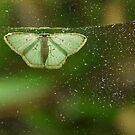 Comostola nereidaria  by WatlingBates