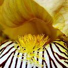 Bearded Iris by Nancy Barrett