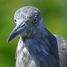 Juvenile Blue by glink