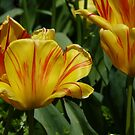 Golden Tulips by Virginia McGowan