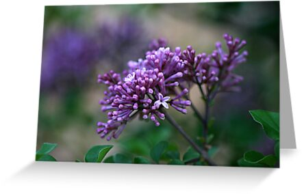Dwarf Korean Lilac by Kelly Cavanaugh