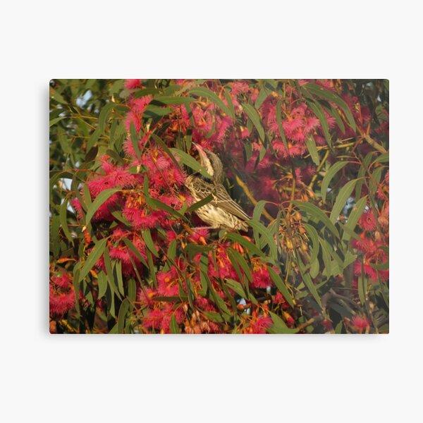 Red Wattle Bird - Flinders Ranges Metal Print