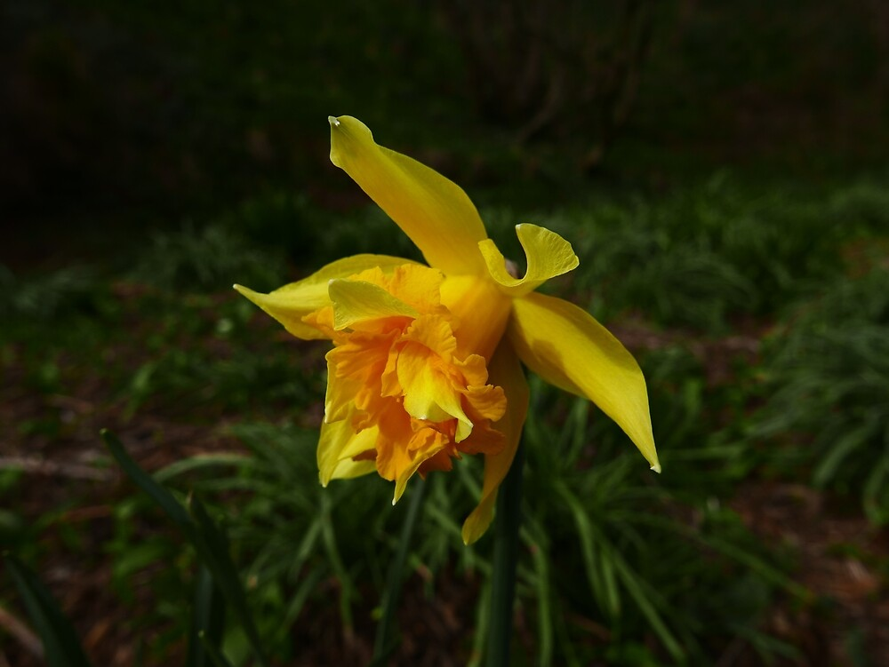 Daffodil (Narcissus pseudonarcissus var. Van Sion) by IOMWildFlowers