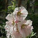 White Pink Hollyhock Flowers Leith Park Victoria 20171206 1854  by Fred Mitchell