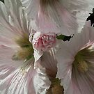 White Pink Hollyhock Flower CU Leith Park Victoria 20171206 1855  by Fred Mitchell