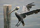 Pelican landing 2 by David Clarke