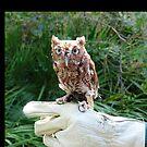 Screech Owl by glink