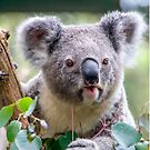 koala by picketty