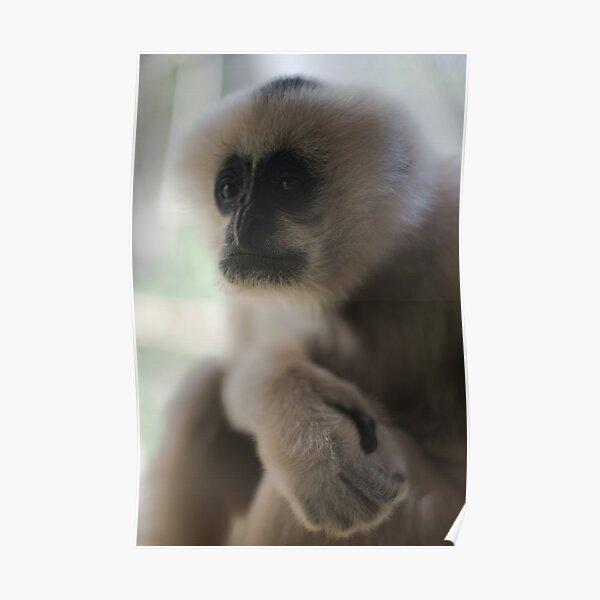 White Faced Gibbon Poster