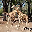 Giraffe trio by Robyn Williams