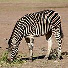 Zebra art by Robyn Williams