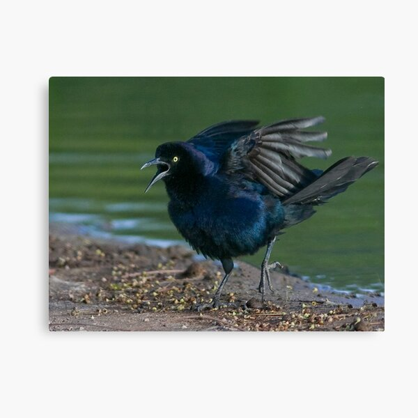 Great Tailed Grackle Canvas Print