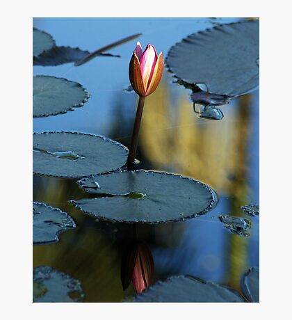 Pink Diva - waterlilly Photographic Print
