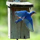 Eastern Bluebird Flight by Bonnie T.  Barry