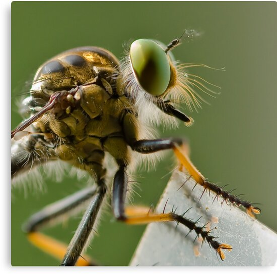 Robber Fly, waiting... by Cawi