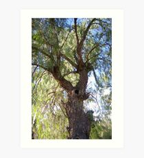 A beautiful Peppercorn tree Art Print