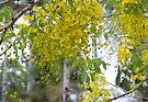 Cascading Blossoms (Cassia fistula tree)  by Kerryn Madsen-Pietsch