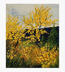brooms shrubs Photographic Print